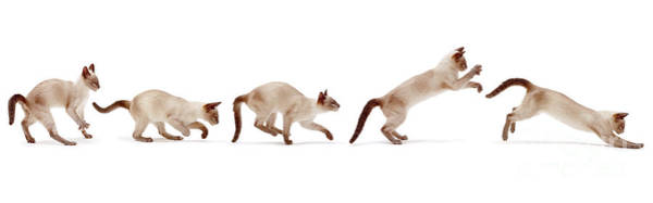 Photograph - Siamese Cat Bounding by Warren Photographic