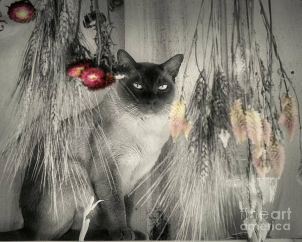 Photograph - Siamese Cat In Black And White by Smilin Eyes  Treasures