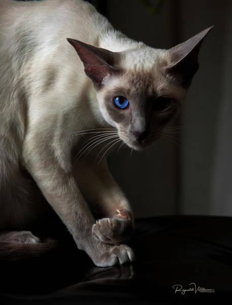 Photograph - Siamese Cat by Reynaldo Williams