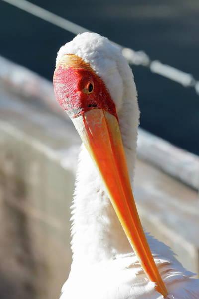 Nfs Photograph - Siberian Crane by Daniel Caracappa