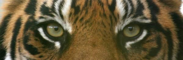 Siberian Eyes - Tiger Art Print