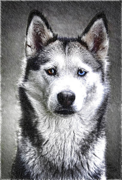 Drawing - Siberian Huskey - Dwp2671006 by Dean Wittle