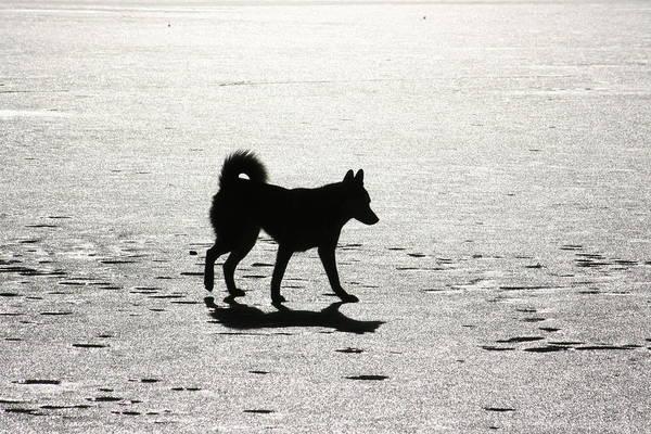 Photograph - Siberian Husky 6 by David Dunham