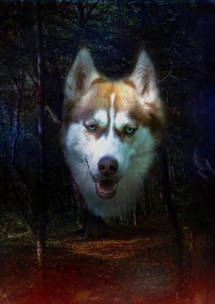 Photograph - Siberian Husky by Brian Roscorla
