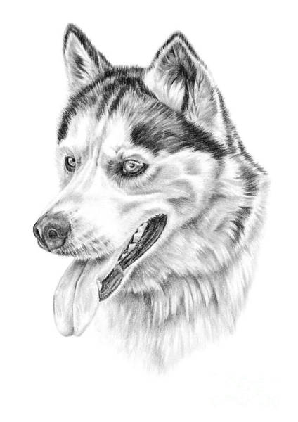 Drawing - Siberian Husky by Pencil Paws