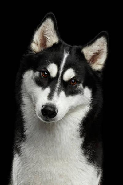 Photograph - Siberian Husky by Sergey Taran