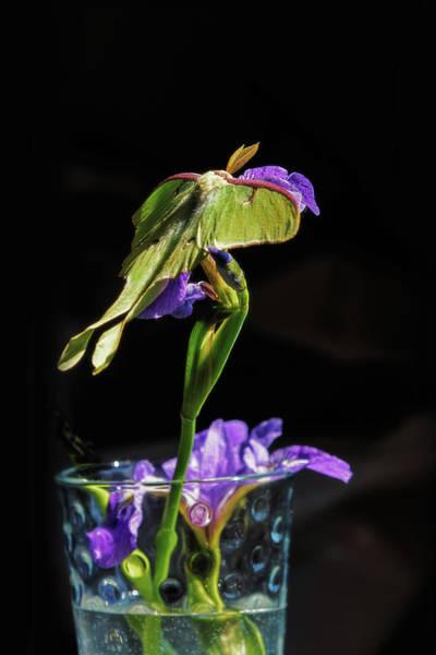 Wall Art - Photograph - Siberian Iris And Luna Moth by Susan Capuano