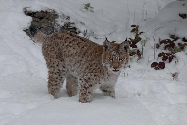 Photograph - Siberian Lynx Kitten 7514 by Teresa Wilson