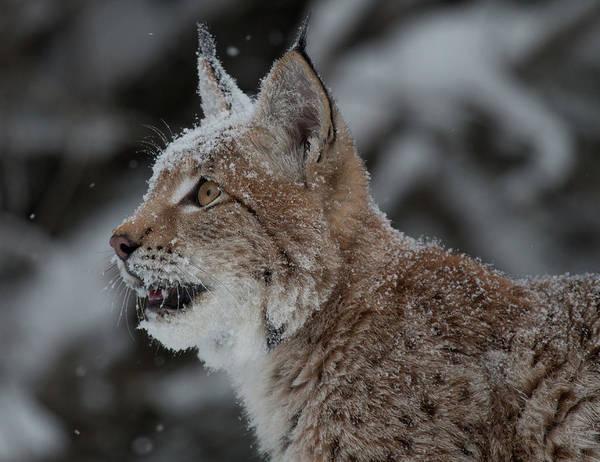 Photograph - Siberian Lynx Kitten 7543 by Teresa Wilson