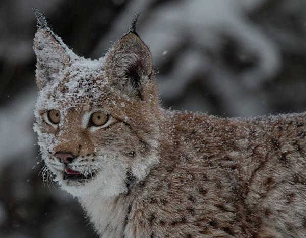 Photograph - Siberian Lynx Kitten 7544 by Teresa Wilson
