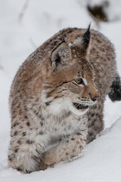Photograph - Siberian Lynx Kitten 7572 by Teresa Wilson