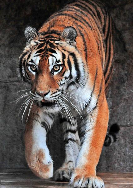 African Tiger Wall Art - Photograph - Siberian Tiger by Alessandro Matarazzo