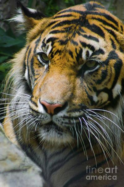 Tigger Wall Art - Photograph - Siberian Tiger Portrait by Kimberly Blom-Roemer