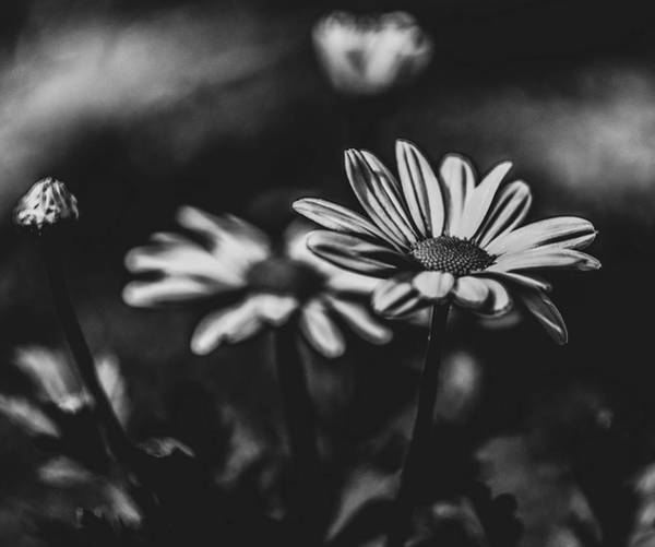 Photograph - Side Daisy Bw by Keith Smith