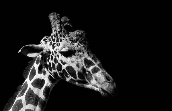 Wall Art - Photograph - Side View Giraffe On Black by Chris Whittle
