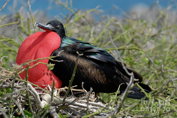 North Seymour Island Photograph - Side View Of Great Frigate Bird In Shrub by Sami Sarkis