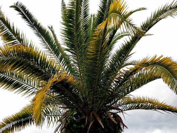 Photograph - Sideshow Palm by Paulo Guimaraes