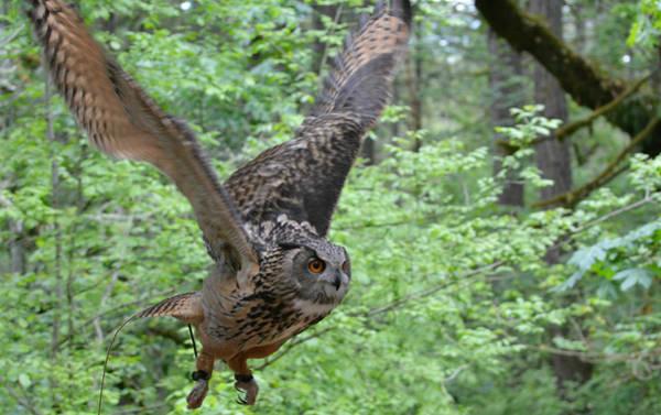 Owl In Flight Photograph - Silent Warrior 2 by Fraida Gutovich