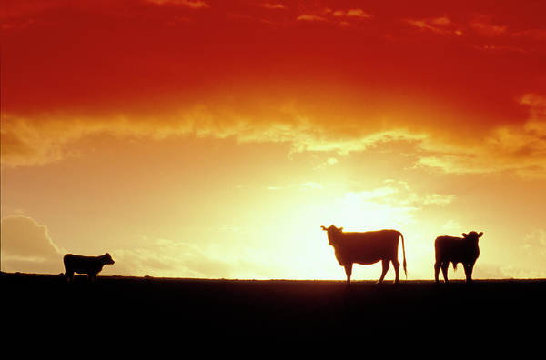 Wall Art - Photograph - Cows Silhouetted Against A Red Sky Sunset On King Island, Australia. by Sean Davey