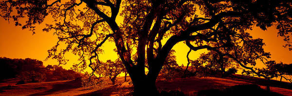 Coast Live Oak Photograph - Silhouette Of Coast Live Oak Trees by Panoramic Images