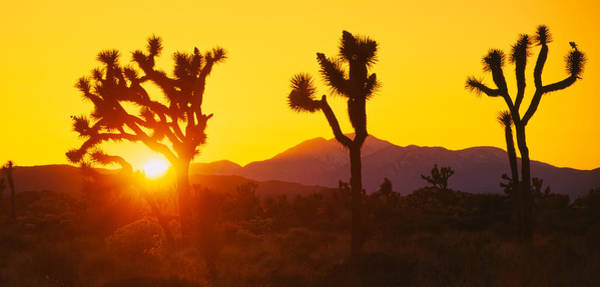 Yucca Brevifolia Photograph - Silhouette Of Joshua Trees Yucca by Panoramic Images