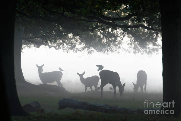 Silhouette Of Red Deer - Cervus Elaphus -  Hinds Or Females Grazin Art Print