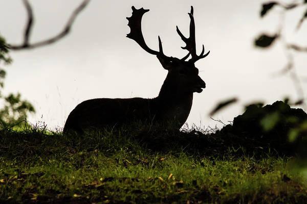 Photograph - Silhouette Of Resting Stag by Jacek Wojnarowski