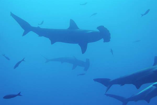 Hammerhead Photograph - Silhouette Of Scalloped Hammerhead Sharks by Sami Sarkis