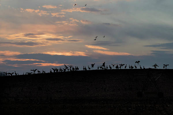 Photograph - Silhouette  Sandhills Crane Top Of A Knoll by Dan Friend
