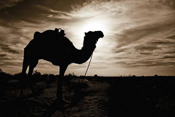 Deserts Photograph - Silhouetted Camel, Sahara Desert, Douz by David DuChemin