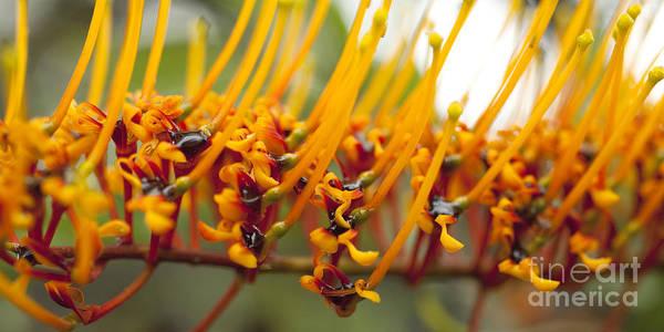 Photograph - Silk Oak Tree Flower by Charmian Vistaunet