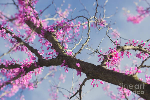 Photograph - Silky Spring Eastern Redbud by Rima Biswas