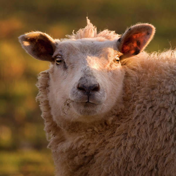 Sheep Photograph - Silly Face by Angel Ciesniarska