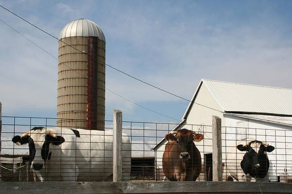 Photograph - Silo Steers by Dylan Punke