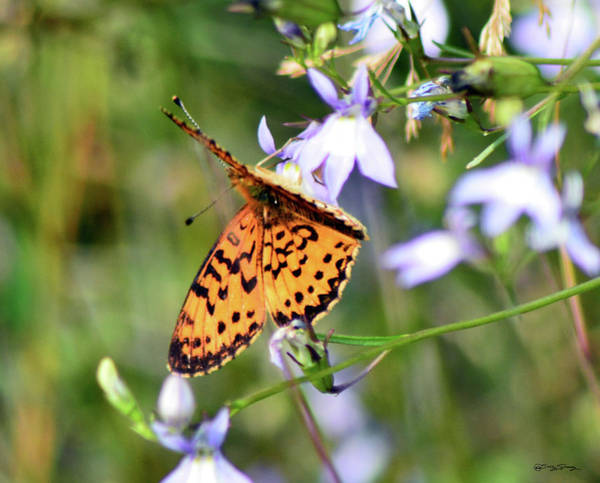 Photograph - Silver Bordered Fritillary by Sally Sperry