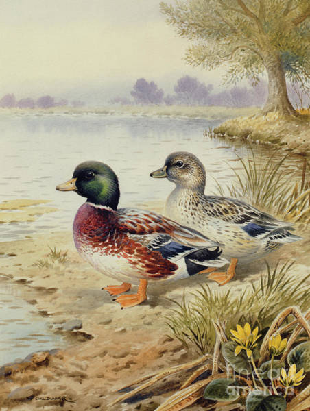 Marsh Bird Painting - Silver Call Ducks by Carl Donner