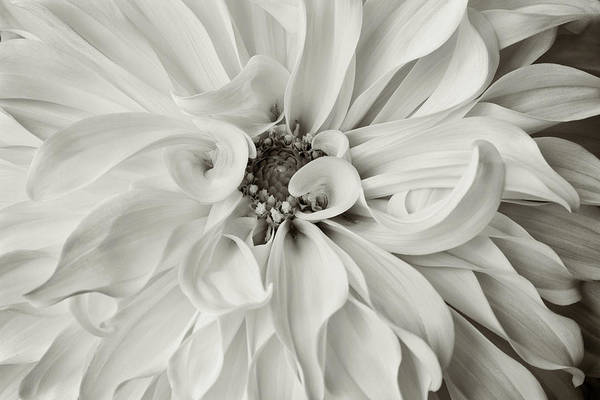 Photograph - Silver Dahlia by Mary Jo Allen