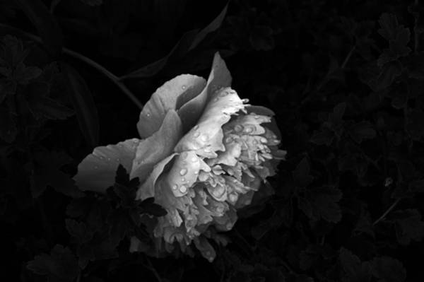 Photograph - Silver Flower by Jake Whalen