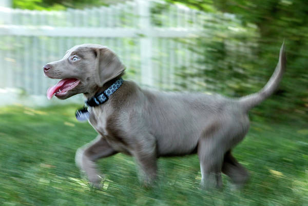 Wall Art - Photograph - Silver Labrador Retriever Running Puppy  by Iris Richardson