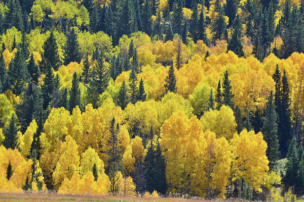Photograph - Silver Pick Basin Aspen Grove by Ray Mathis