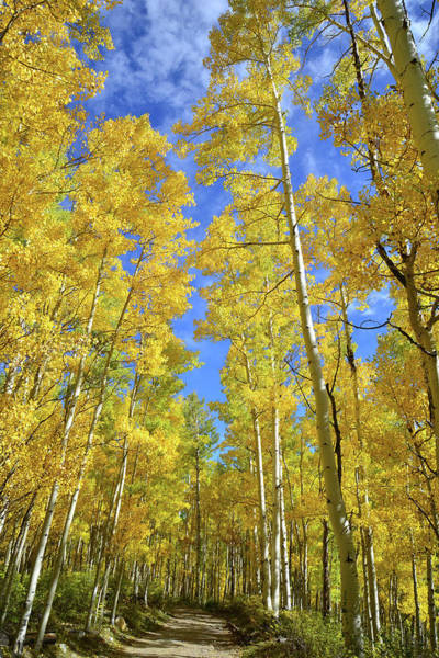 Photograph - Silver Pick Basin Aspens by Ray Mathis