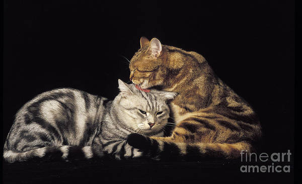 Laying Out Photograph - Silver Tabby And Brown Tabby Domestic by Gerard Lacz