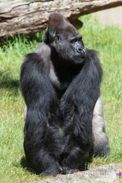 Photograph - Silverback Gorilla At The San Francisco Zoo San Francisco California 5d3181 by Wingsdomain Art and Photography