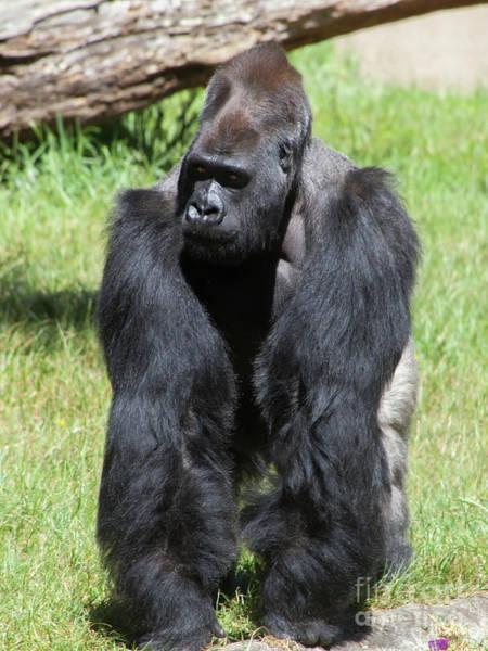 Photograph - Silverback Gorilla At The San Francisco Zoo San Francisco California 5d3182 by Wingsdomain Art and Photography
