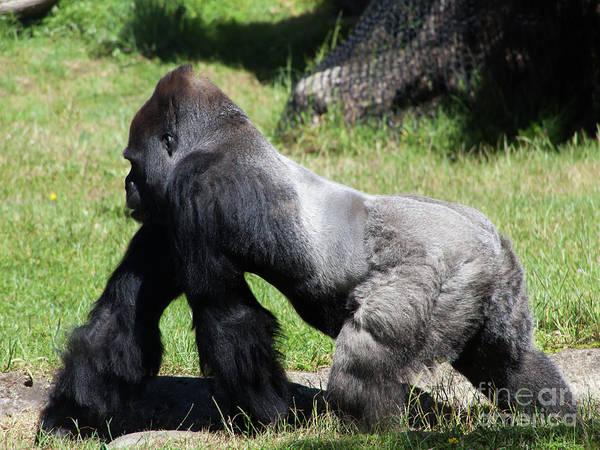 Wall Art - Photograph - Silverback Gorilla At The San Francisco Zoo San Francisco California 5d3184 by Wingsdomain Art and Photography