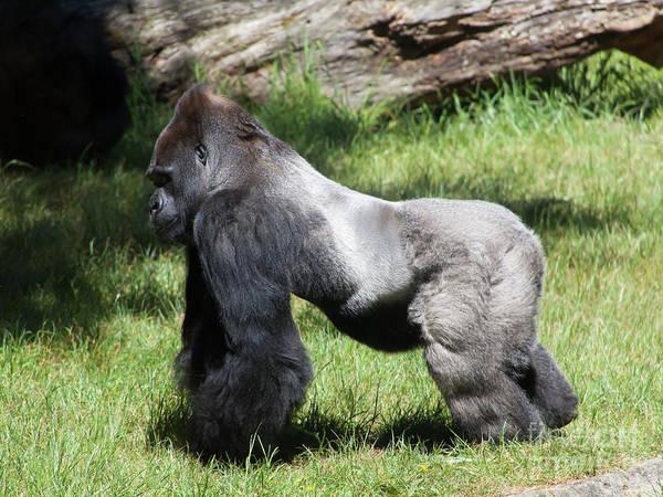 Photograph - Silverback Gorilla At The San Francisco Zoo San Francisco California 5d3185 by Wingsdomain Art and Photography