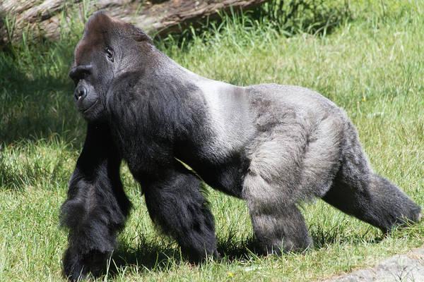 Wall Art - Photograph - Silverback Gorilla At The San Francisco Zoo San Francisco California 7d9703 by Wingsdomain Art and Photography