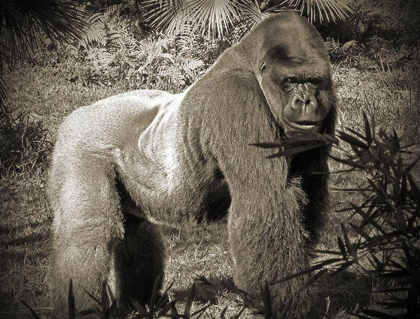 Photograph - Silverback II by Steven Sparks
