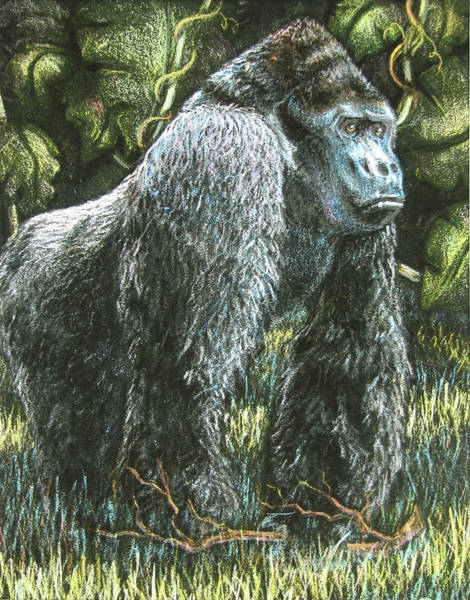 Wall Art - Drawing - Silverback-king Of The Mountain Mist by Beverly Fuqua