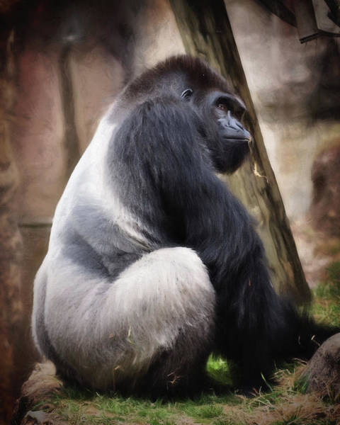 Wall Art - Photograph - Silverback by Lana Trussell